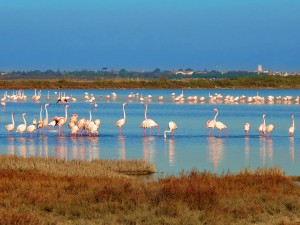 flamingos in the south of france with a view of palavas